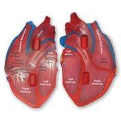 Cross-Section Human Heart Model