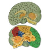 Cross-Section Human Brain Model
