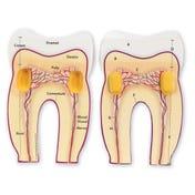 Soft Foam Cross-Section Tooth Model