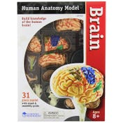 Anatomy Model - Brain